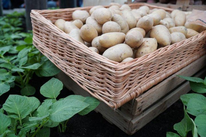 Когда сажать картофель в 2018г 62